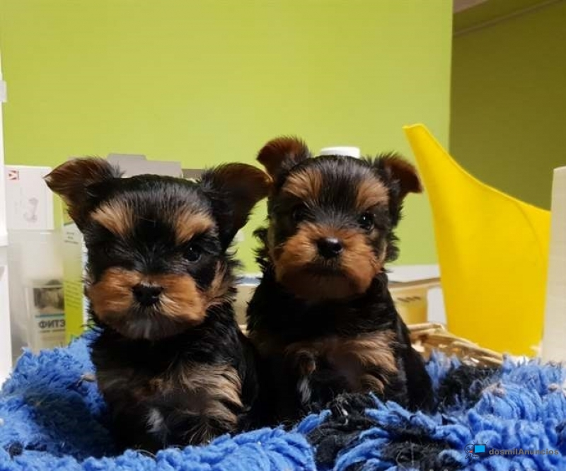 Regalo cachorros toy de yorkshire terrier mini par